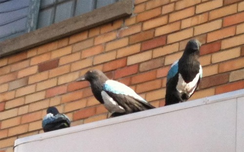 Magpies above Magpies