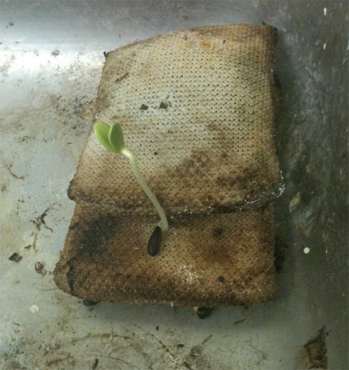 Sprout growing out of a sponge