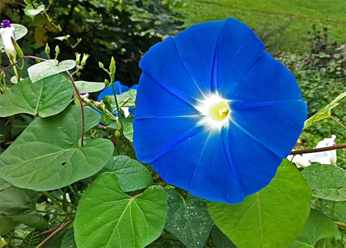 Dark blue Morning Glory