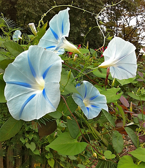 Light blue Morning Glories