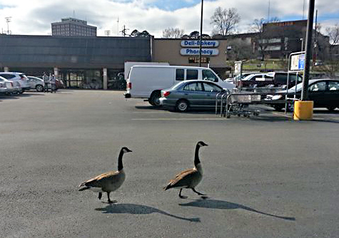 Canada geese strolling through the Fellini Kroger parking lot.