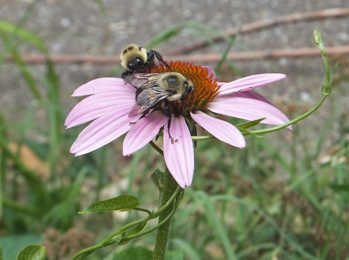 bumblebees_on_flower-100dpi_10x7_4c_5296-copy
