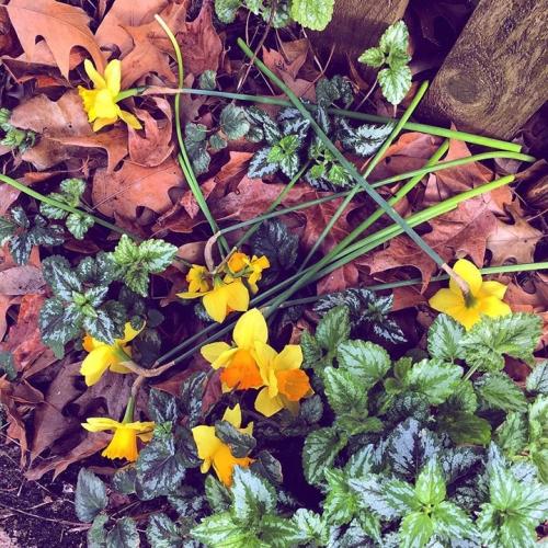 jonquils daffodils strewn on ground 2018 120pdi_6x6_4c