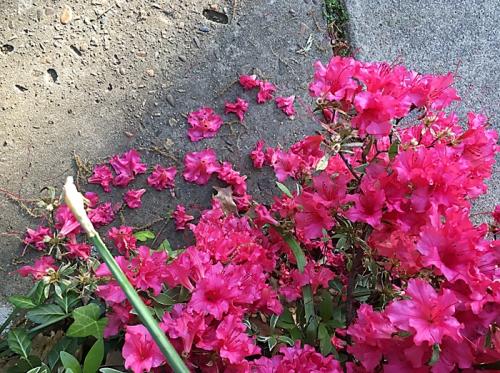 Azaela bush 100dpi_7x5_4c_5820 copy